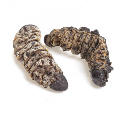 MOPANI WORMS